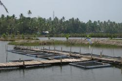 Promoting cage culture of finfish in Pokkali field, Kerala