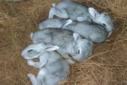 Soviet-Chinchilla-kits-borne-at-KVK-Rabbit-breeding-unit2