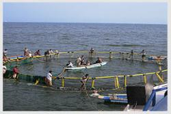 Harvesting fish grown in open sea cage